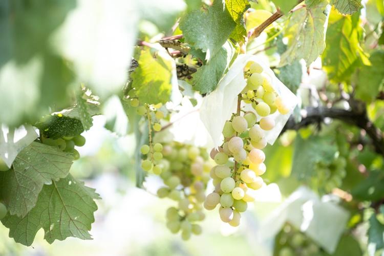 甲州ぶどうは薄い黄緑がほんのり赤みがかってきたら収穫のサイン